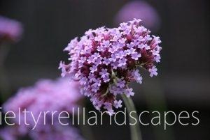 verbena-bonariensis-flower